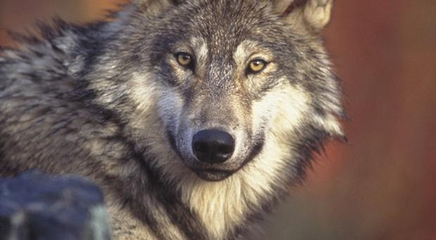 State wildlife biologists have gunned down 12 wolves outside an Alaskan village