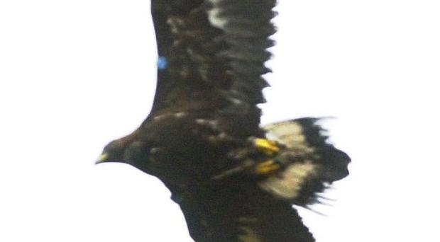 There are fears that wind turbines could destroy golden eagles