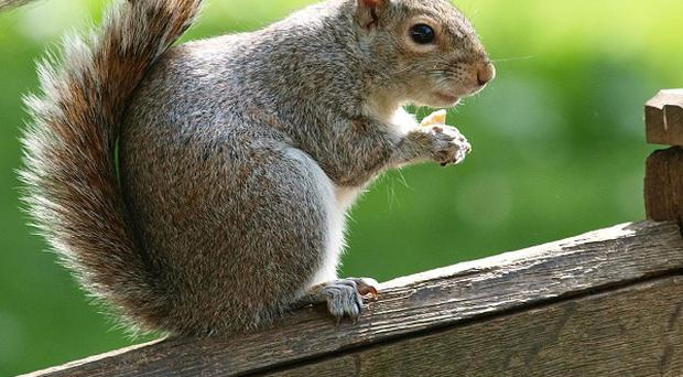 Invasive non-native species such as grey squirrels and Japanese knotweed cost the British economy 1.7 billion pounds every year