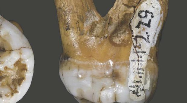 The upper molar tooth was found in a Siberian cave