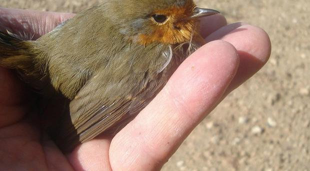 A Cyprus robin trapped in a net in the Dhekelia British Base area
