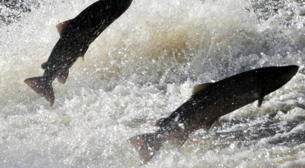 Salmon can run out of oxygen when water freezes
