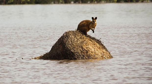A wallaby stands on a large hay bale trapped by rising flood waters outside the town of Dalby in Queensland (AP)
