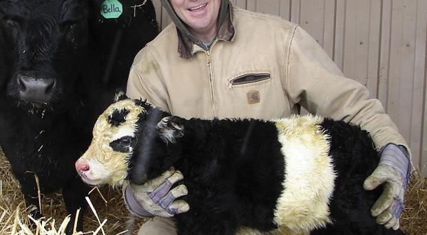 Farmer Chris Jessen holds his new 'panda cow' named Ben (AP)