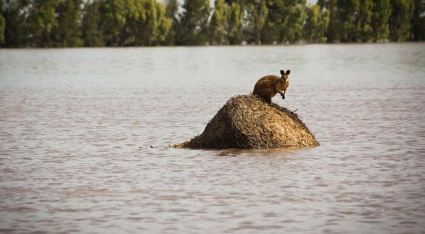 A wallaby stands on a large round hay bale trapped by rising flood waters outside the town of Dalby in Queensland, Australia
