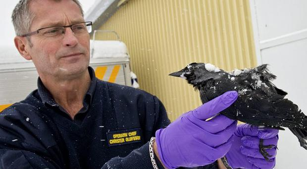 Investigators in Sweden are trying to find out what caused the death of around 50 birds (AP)