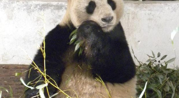 Yangguang is heading for Edinburgh Zoo from China (AP)