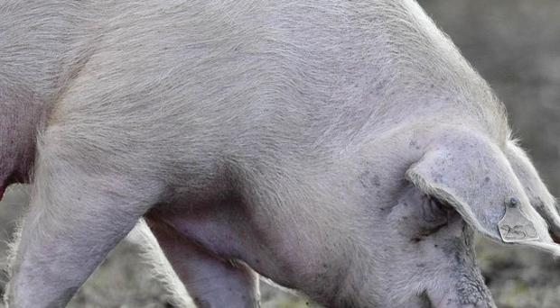 Hundreds of pigs in Germany face being culled as a result of the dioxin scandal