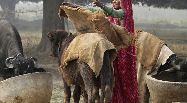 A woman covers her buffalo with a jute bag to protect it from the cold in Uttar Pradesh, India (AP)