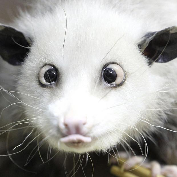 Heidi the cross-eyed opossum has become a Facebook hit (AP)