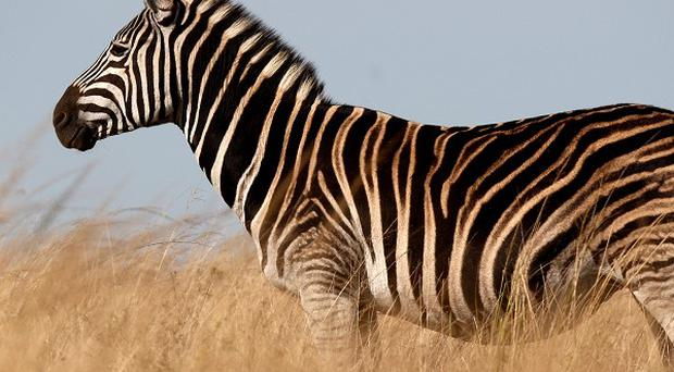 Three zebras from the Hearst Ranch in California were fatally shot by neighbouring ranchers