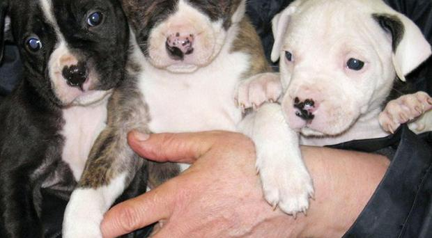 Six Staffordshire Bull Terriers dumped over Christmas face a death sentence unless new homes can be found for them