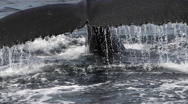 A western Pacific grey whale has migrated to the Gulf of Alaska