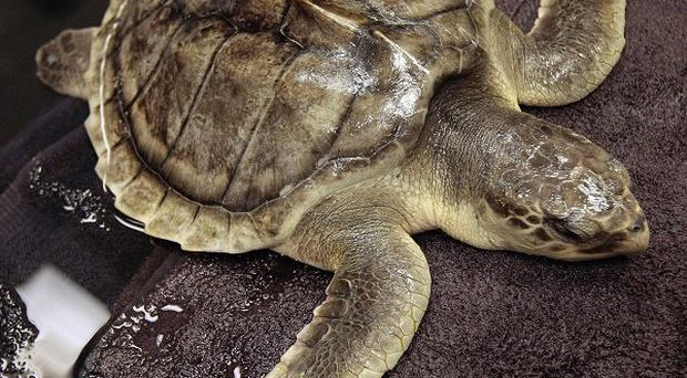 More sea turtles were killed or injured in the months following the BP oil spill than any period during the past two decades (AP)