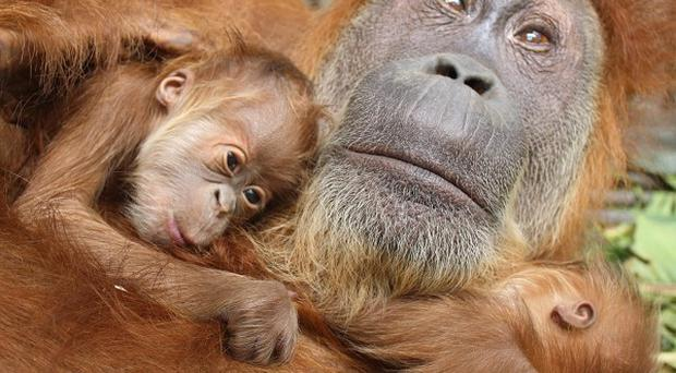 Sumatran orangutan Gober, who is blind in both eyes due to cataracts, with her twin babies in North Sumatra, Indonesia
