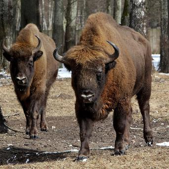 Hundreds of wild bison were captured after migrating out of Yellowstone National Park