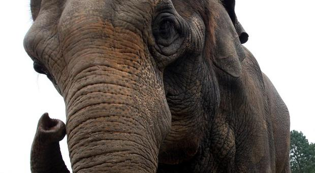An elephant has trampled to death a Swiss tourist in Thailand