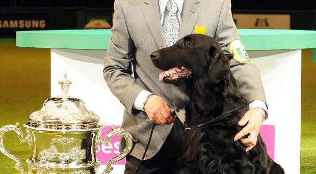 Flatcoated Retriever Jet has won Best in Show at this year's Crufts