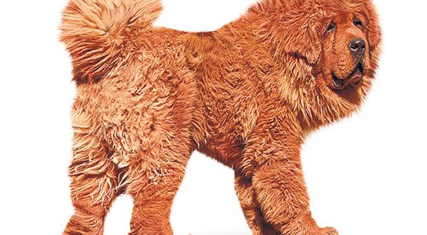 The Tibetan mastiff is more commonly black and gold. The Chinese revere the colour red, especially when it is as resplendent as in Hong Dong's glorious fur