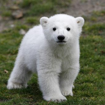 Berlin's famous polar bear Knut, who rose to international stardom as a cuddly cub hand-raised by zookeepers, has died (AP)