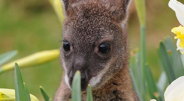 Dozens of rare species of wallaby and other Australian animals could become extinct within 20 years, scientists have warned