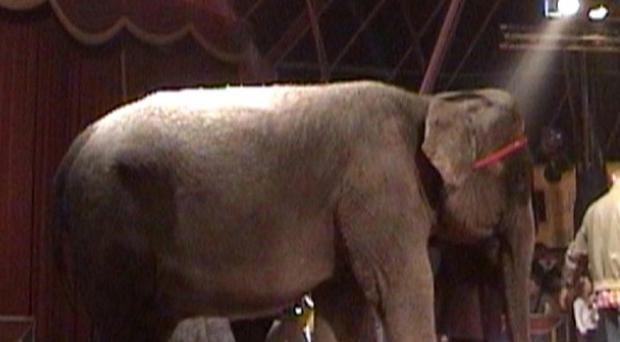 Animal Defenders International photo of Annie the Asian elephant at Bobby Roberts Super Circus in Polebrook, Northamptonshire
