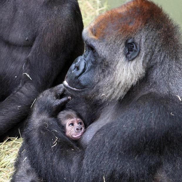 A gorilla is keeping mum over the sex of her baby by cradling the newborn close to her chest