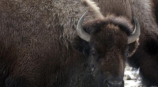 Bison from Yellowstone National Park would roam freely across tens of thousands of acres in Montana