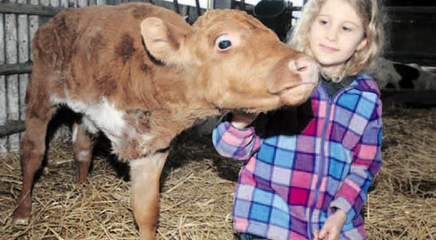 Bethany Vance (10) with her pet calf Paul who was born with just three legs