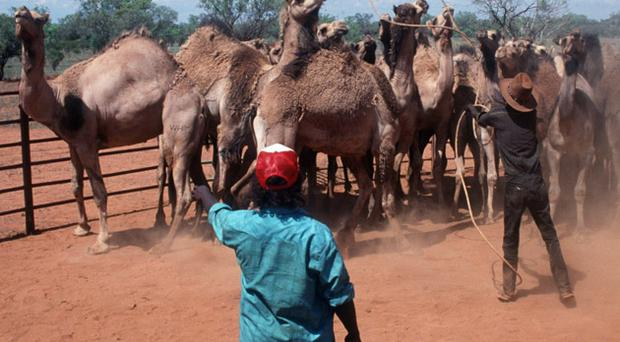 Ranch hands roping wild camels; around a million of the creatures roam the Australian outback