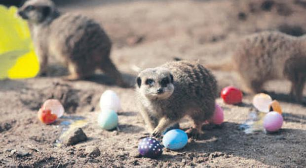 The meerkats at Belfast Zoo playing with their Easter eggs