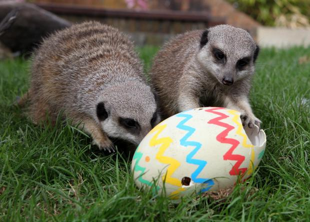 Meerkats at Blair Drummond Safari Park, near Stirling, get an early Easter treat of Ostrich and Rheas eggs filled with meal worms. PRESS ASSOCIATION Photo. Picture date: Friday April 15, 2011. Photo credit should read: Andrew Milligan/PA Wire