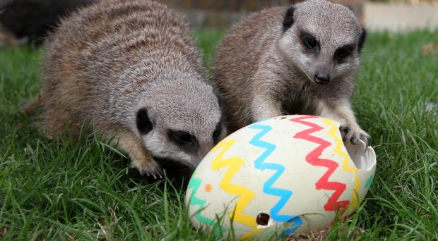 50 things to see and do over the easter holidays belfasttelegraph meerkats at blair drummond safari park near stirling get an early easter treat of negle Image collections