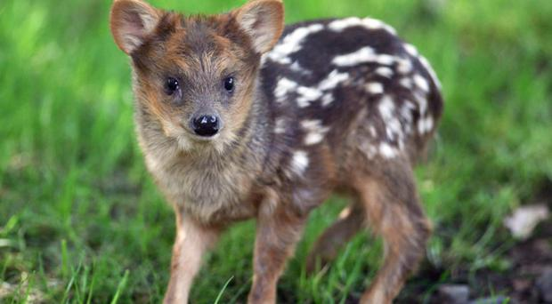 Belfast Zoo's baby boom continues with the birth of the latest addition to its southern pudu family, Pequeño, who weighed the same as a pint of milk when born