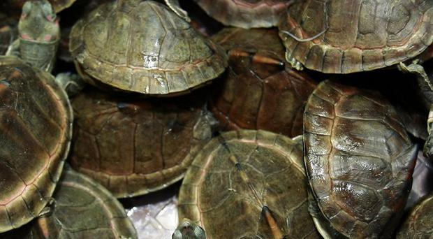These mud turtles were amoung 431 reptiles stuffed into four suitcases and smuggled into the Bangkok airport