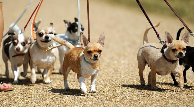 An increasing number of small dogs are being abandoned, the animal charity Blue Cross says