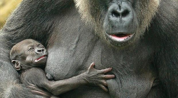 Western Lowland Gorilla Lena clutches her baby boy gorilla in Dublin Zoo - which has been named Ireland's most popular place to visit