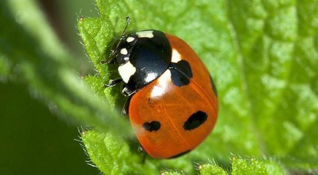 More than a fifth of Britain's ladybird species are in decline, it has been revealed