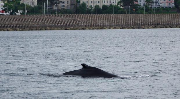 Traffic came to a standstill in Bangor on Tuesday as crowds flocked to see the humpback whale spotted near the town's pier