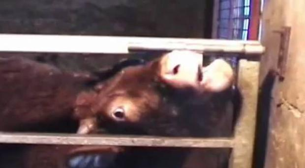 Udder genius: The sequence of film showing Daisy the cow making her escape using her tongue to undo the bolts and push the gate open, letting other cows out of their pen