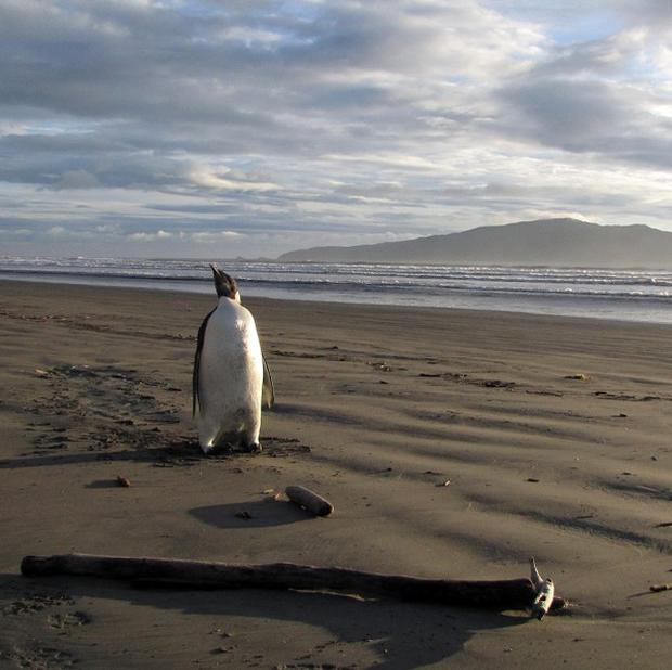 The Emperor penguin on Peka Peka Beach in New Zealand after it got lost while hunting for food(AP)