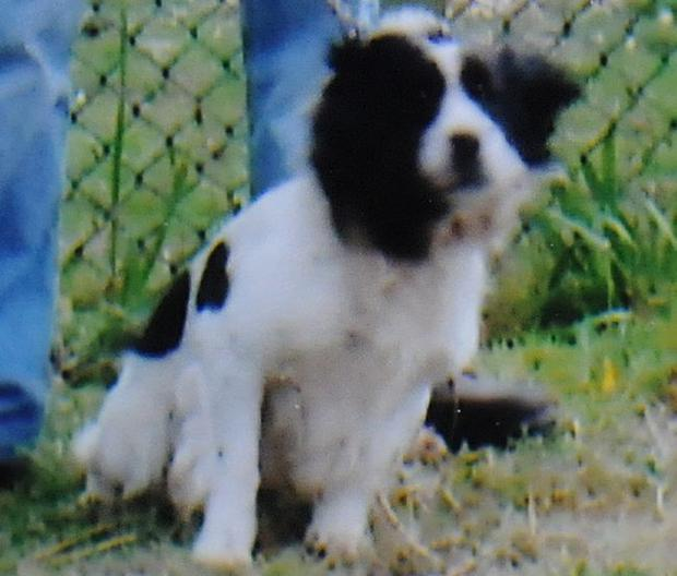 Todd, the McDonagh family pet spaniel dog which died after being stung by a swarm of bees close to their home in the Creggan Estate in Derry. Collect from Martin McKeown