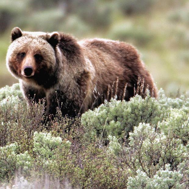 A hiker has been killed by a grizzly bear in Yellowstone National Park in the US (AP)