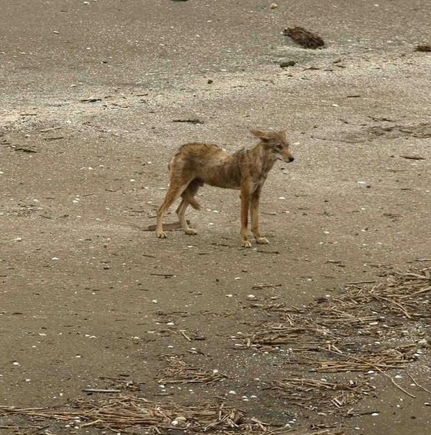 A group of coyotes has been attacking leashed pets in the Southern California retirement community of Laguna Woods (AP)