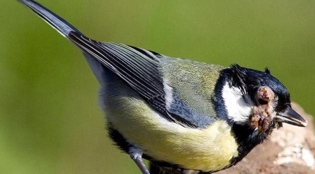 A bird disease which can leave great tits riddled with lesions is spreading across the UK (Liz Cutting/ZSL)
