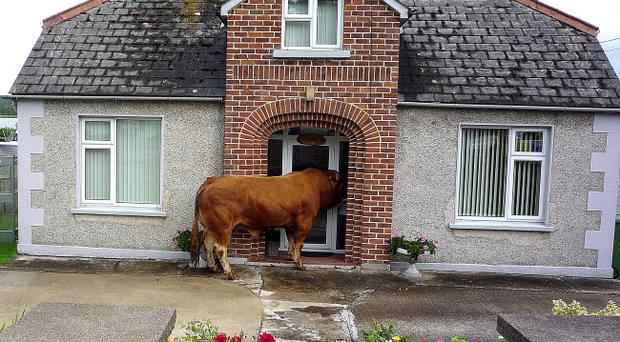 The escaped bull peers in through the front door of a house in Enniskillen