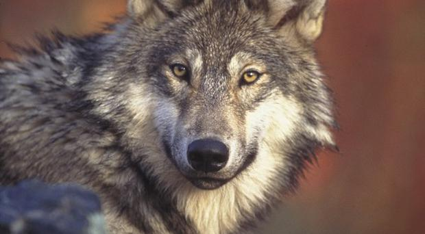 US environmentalists want wolf hunts in Montana and Idaho cancelled until the court rules on an appeal