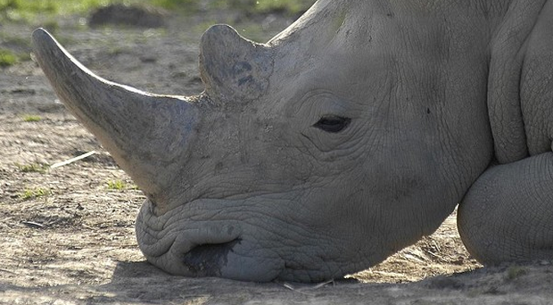 There has been a significant increase in the number of rhino killed in countries such as South Africa since 2010