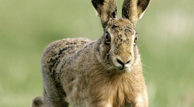 A permanent ban on hare coursing events has been introduced in Northern Ireland