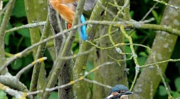 Kingfisher numbers fell by 39 per cent last year, probably due to the freezing weather